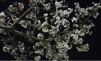 夜桜会3_40.jpg
